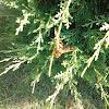 Eastern Cicada Killers