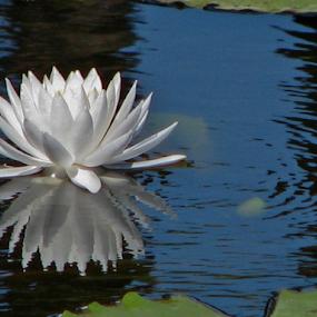 Water lily by Priscilla Renda McDaniel - Flowers Flowers in the Wild (  )