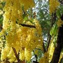 Golden Shower (Bahawa)