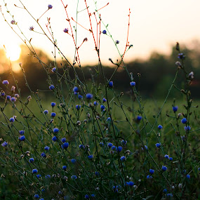 Flowers at sunrise by Beckie Caughman - Flowers Flowers in the Wild ( field, wildflowers, purple, blue, sunrise,  )