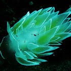 Frosted Nudibranch