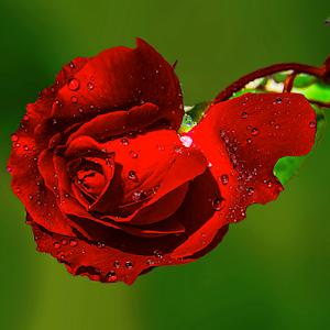 rose desiy.jpg