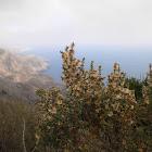 Salsola oppositifolia (Entorbillón)
