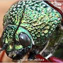 Jewel or metallic wood boring beetle