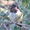 Costa's Hummingbird     immature male