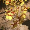 Oncidium Orchid Cascade