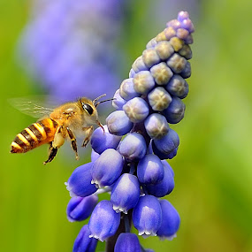 Hyacinthus Orientalis and Honey Bee by Leka Huie - Flowers Single Flower ( hyacinthus orientalis, , colorful, mood factory, vibrant, happiness, January, moods, emotions, inspiration )