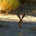 Black-tailed Jack Rabbit