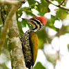 Common Goldenback Woodpecker