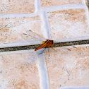 Keeled Skimmer (Female)