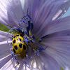 Cucumber Beetle and Chicory