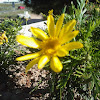 Yellowbush daisy