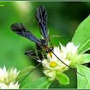 Black Braconid Wasp