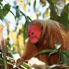Uakari Monkey