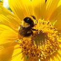 Bumblebee / Abelhão