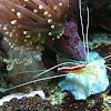 Pacific Cleaner Shrimp
