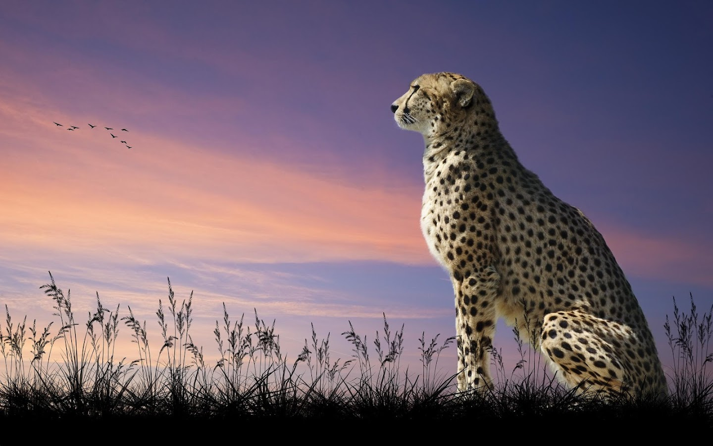 Cheetah Wallpaper Android Apps On Google Play