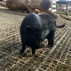 pot-bellied pigs