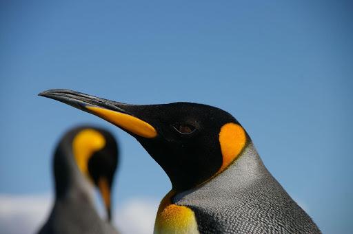 Winter Penguin Live Wallpaper