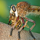 Red-footed cannibal-fly & bee