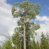 Eurasian aspen