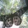 moth of Dysphania sp.