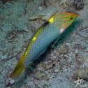 Checkerboard Wrasse