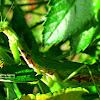 Giant Philippine Mantis