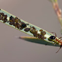 unknown ant with melon aphids