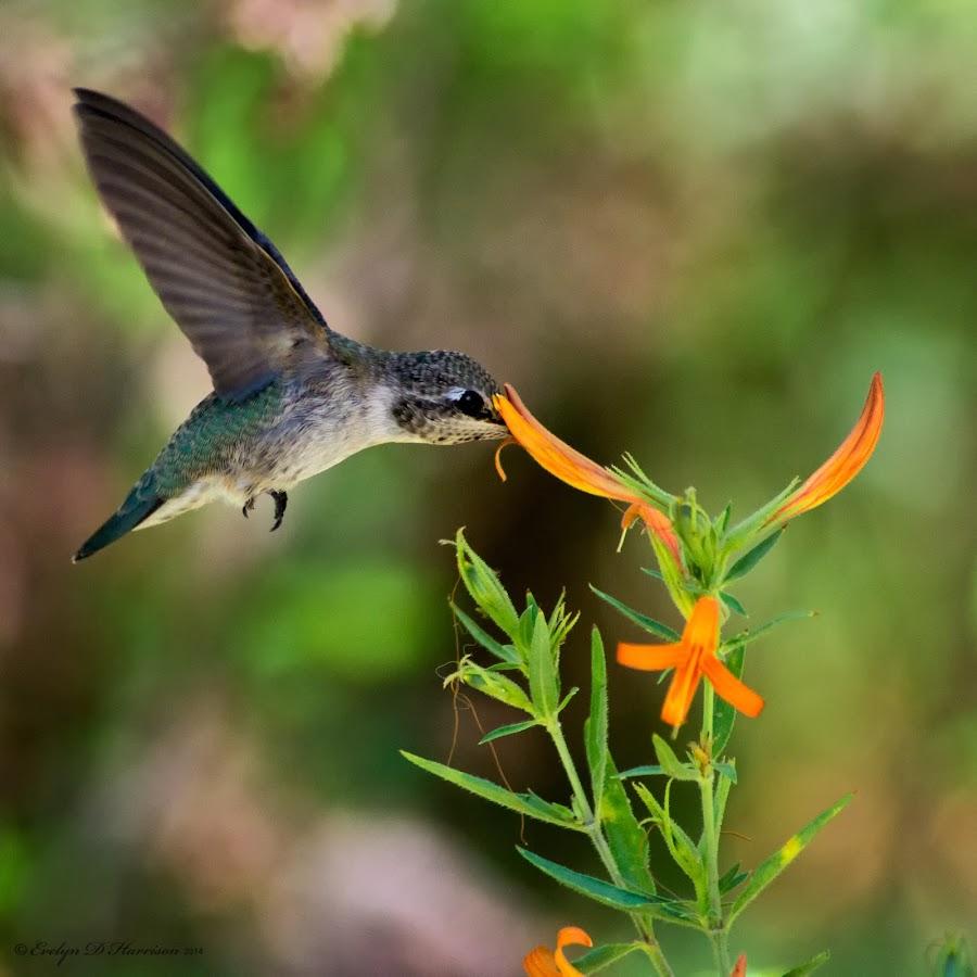 Honeysuckler by Evelyn Harrison - Animals Birds ( bird, hummingbird, feeding, honeysuckle, humming bird, flower )