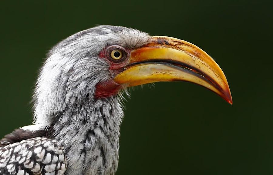 Southern Yellow-billed Hornbill  Tockus leucomelas   by Chris Krog - Animals Birds ( hornbill, southern, tockus, yellow )
