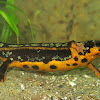 The sword-tail newt