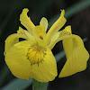 Yellow Iris / Sumpf-Schwertlilie