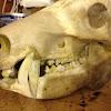 Javelina skull