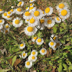 Daisy fleabane wildflower