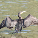 Great Cormorant (basic plumage)