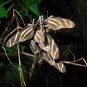 Cebra longwing