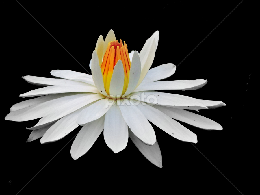 White waterlily by Yusop Sulaiman - Flowers Single Flower