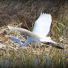 Great Egret, Common Egret, Large Egret or Great White Heron