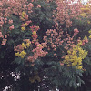 Chinese flame tree