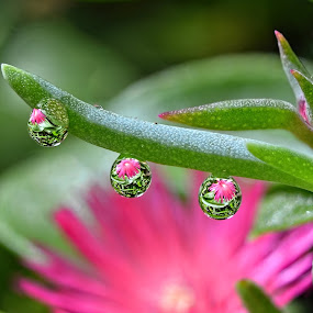 by Margie MacPherson - Nature Up Close Natural Waterdrops ( succulent, macro, pink, flower, water drop,  )