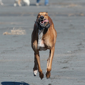 Comin at you by Karin Bennett - Animals - Dogs Running ( dogs, greyhound, beach, running )