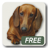 Dachshund sad song Free