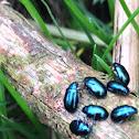 Beetle sp.