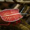Giant shield bug (Nymph)
