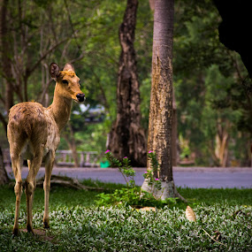 Look Back  by Mandeep Singh - Animals Other ( canon, grass, mandeep, deer, animal )