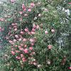 """Bottlebrush """"Perth Pink"""""""