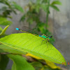 Common Bluetail Damselfly (Male)