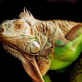 iguana by Kimpul Kimpul - Animals Reptiles ( love, sex, green, iguana, loe, reptile,  )