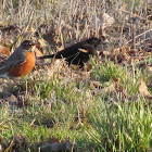 American Robin and Red-winged Blackbird